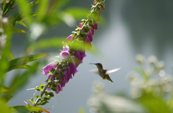 Red Crow Guesthouse : Rufous Hummingbird feeding on hollyhocks
