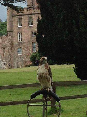 Dalhousie Castle: Falcon
