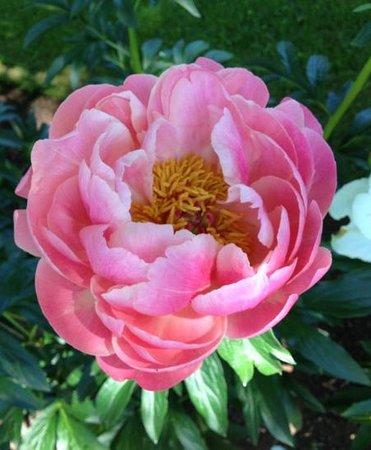 Annapolis Royal Historic Gardens : Beautiful peony