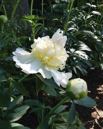 Annapolis Royal Historic Gardens : White peony.