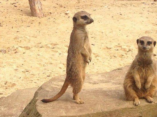 Woburn Safari Park: Meerkats