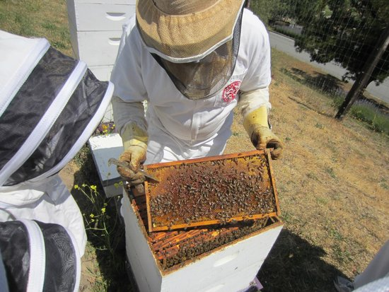 Carmel Valley Ranch: up close with the bees