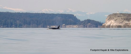 Footprint Nature Explorations : Orca Whales near Lund Harbour
