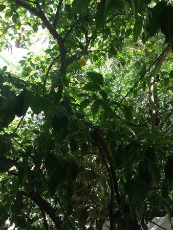 Athens Green Apartments : Lemon Tree