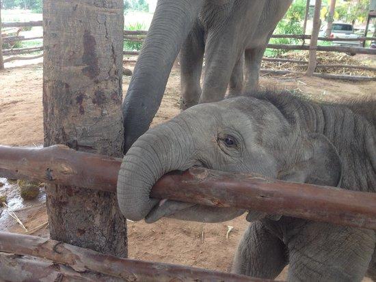 Elephant Study Center Surin: One of twin elefant