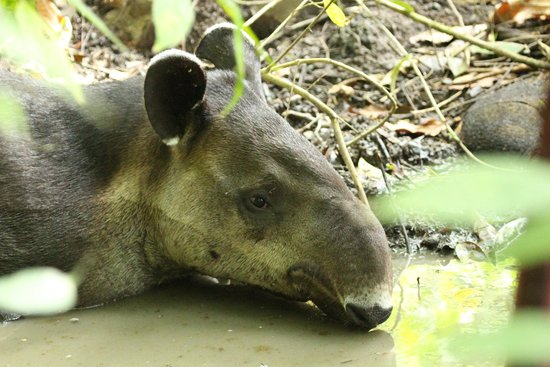 Lookout Inn Lodge: Tapir in the park