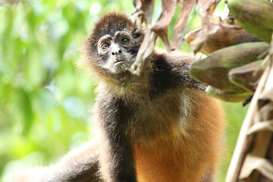 Lookout Inn Lodge: Spider Monkey in the park