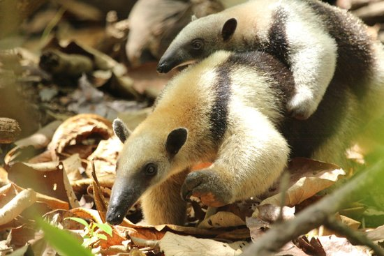 Lookout Inn Lodge: Tamandua in the park