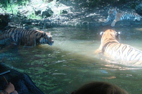 Zoo Zurich : Gatinhos gigantes. Amei!