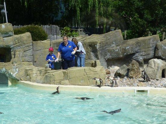 Drusillas Park: Feeding Penguins