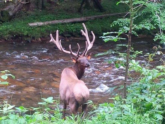 Moonshine Creek Campground: Elk at Chataloochee Wildlife Reserve