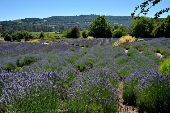 Matanzas Creek Winery: ...so is lavender