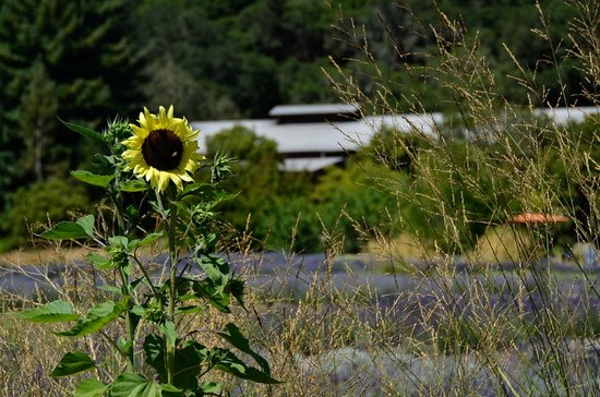 Matanzas Creek Winery: sunflowers are my favorite...
