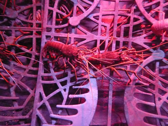 The Lost Chambers Aquarium: Meet the lobsters