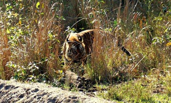 Mahua Kothi: Tiger!