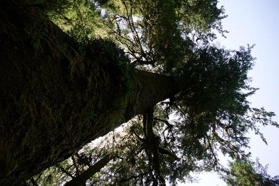Cape Perpetua Scenic Area: Giant Spruce
