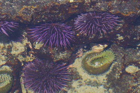 Cape Perpetua Scenic Area: urchins and anemones