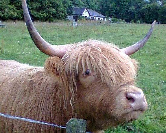 "Discover Scotland Tours : Highland ""hairy cattle"""
