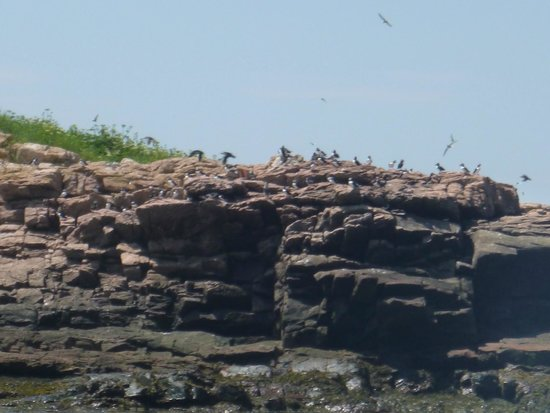 Robertson Sea Tours & Adventures : Puffins and other seabirds on Petit Manan Island