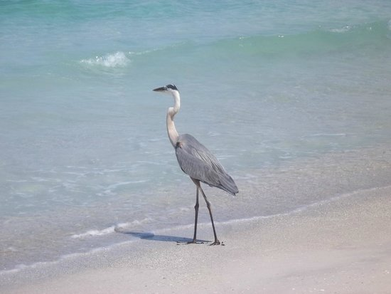 Cedar Cove Resort & Cottages : Heron on beach. Birds are not scared.