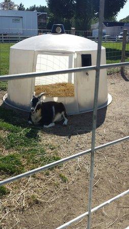 Richardson's Ice Cream: Goat just relaxing