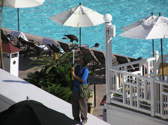 Hotel del Coronado: Falconer with intimidating bird of prey to scare off agressive seagulls.