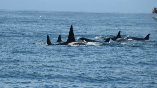 Blue Ocean Whale Watch: Pod of transient killer whales