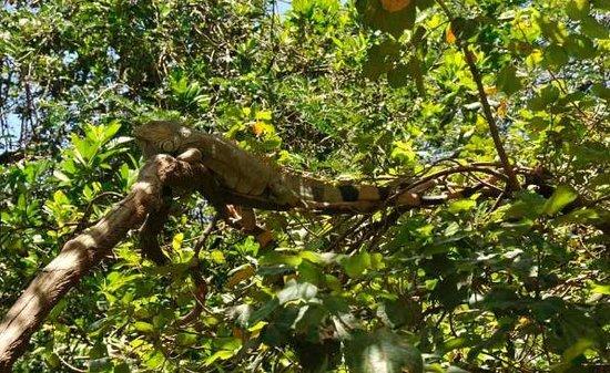 Arch's Iguana and Marine Park: an Arch iguana