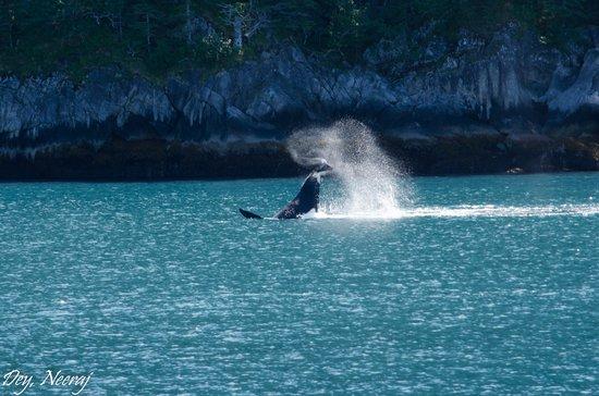 Kenai Fjords Tours: Whale flipping !