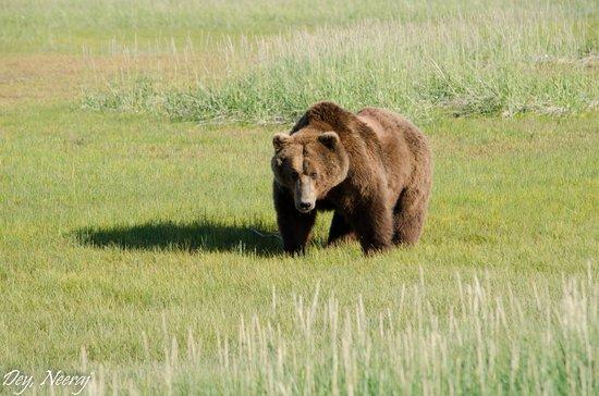 Bear picture of alaska bear adventures homer tripadvisor