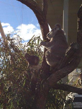 Wild Life Sydney Zoo: 食事中のコアラ