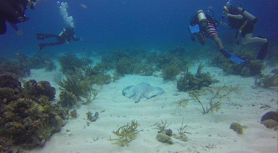 Hamanasi Adventure and Dive Resort: Very Old Large Ray