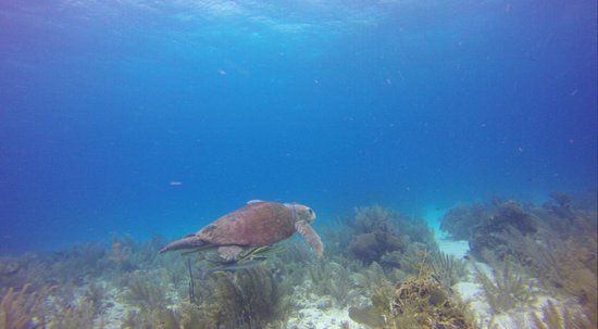 Hamanasi Adventure and Dive Resort: Very Old Lager Head Turtle