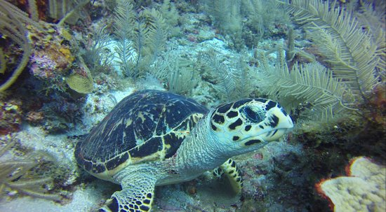 Hamanasi Adventure and Dive Resort : Hawks Bill Turtle