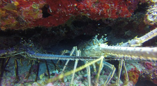 Hamanasi Adventure and Dive Resort: couple of lobsters