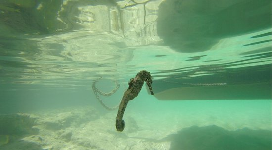 Hamanasi Adventure and Dive Resort: Sea horse between dives
