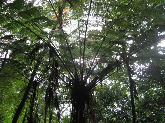 Maravilla Guesthouse: A beautiful tree in the rainforest