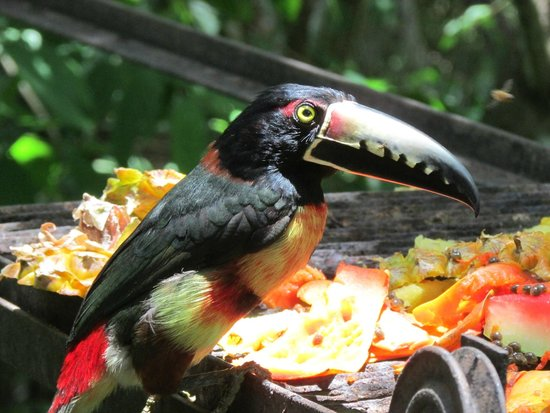 duPlooy's Jungle Lodge: Aracari Toucan up close!