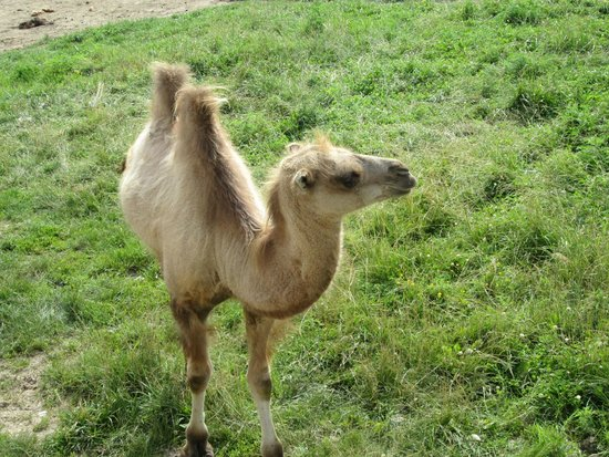 The Wilds : Bactrain Camel