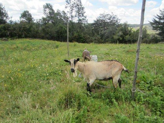 La Montana Magica: Goats