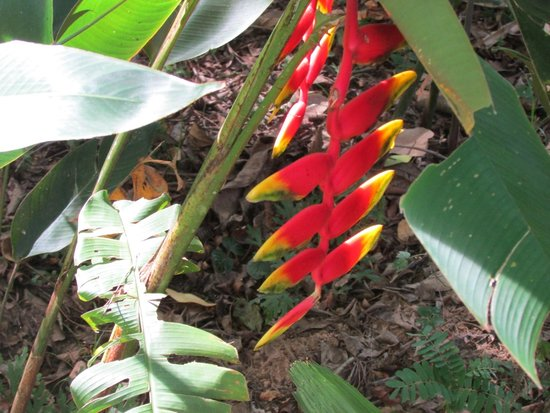 Belize Botanic Gardens: Birds of Paradise