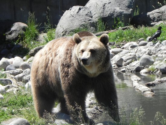 Montana Grizzly Encounter: Maggie digs an apple out of the water