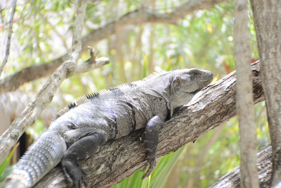 Hotel Villas Delfines: Iguana's grow on trees there.