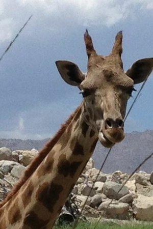 Living Desert Zoo & Gardens: Baby Giraffe