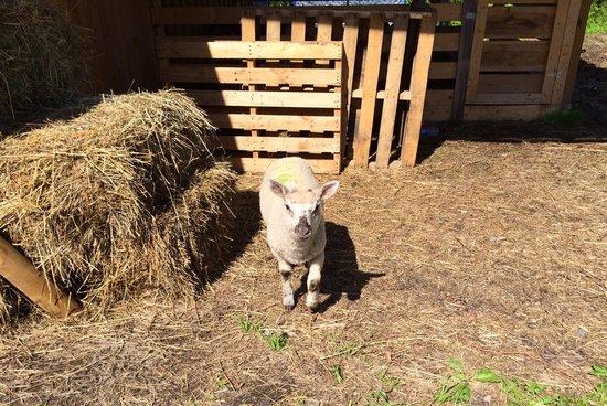 D & K Ranch: Baby Lamb