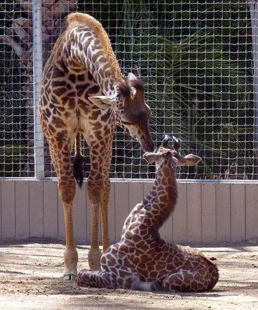 San Diego Zoo : 6-month old giraffe nuzzling 1-week old giraffe