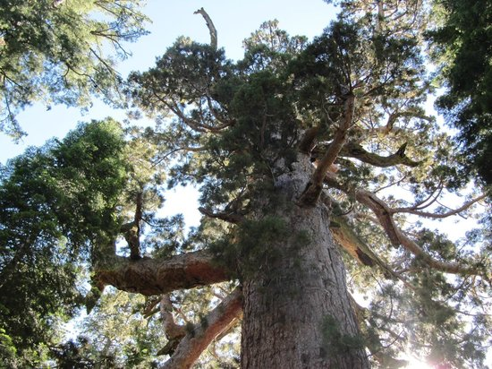 Mariposa Grove of Giant Sequoias: Giant Sequoia with a 6 ft. diameter branch