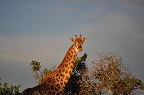 Heritage Tours & Safaris: Hluhluwe-Imfolozi. Giraff. Apr. 2014