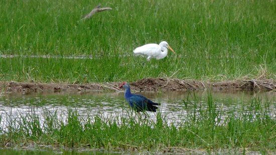 Erode, India: Purple Swamphen