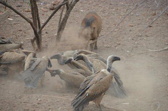 Victoria Falls Safari Lodge: Vutlure feeding